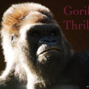 Yves Patak Schriftsteller www.PatakBooks.com Gorilla & Thriller
